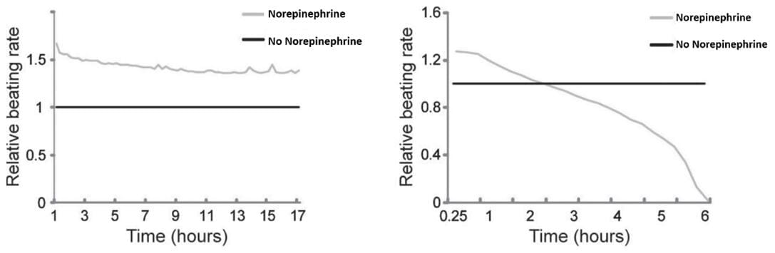 Heart failure model cells (right) are more susceptible to norepinephrine treatment compared to control cells (left)
