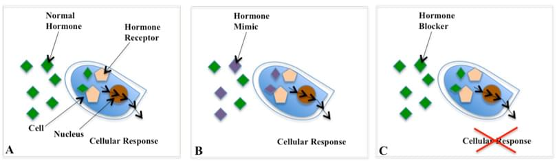 endocrine disruption 1 what are endocrine disruptors (edcs) 11 the endocrine system is a set of glands and the hormones they produce, which help guide the.