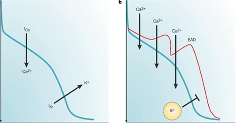 Figure 2, The mechanism of delayed repolarization caused by I<sub>Kr</sub> inhibition<sup>2</sup>. The balance between inward and outward currents determines the morphology and duration of the action potential, and consequently the duration of the QT interval. Drug-induced inhibition of the I<sub>Kr</sub>current can delay repolarization, and prolong the action potential duration and the QT interval.