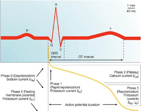 Figure 1, Temporal correlation between action potential duration and the QT interval on the surface ECG<sup>2</sup>. Typically, the P wave reflects atrial depolarization, the QRS complex reflects ventricular depolarization and the T wave reflects ventricular repolarization (Phase 3). Numerous overlapping ionic currents contribute to the morphology and duration of the ventricular action potential.