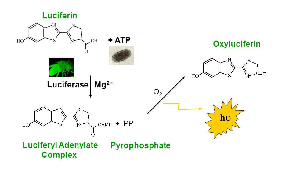 ATP Cell Viability Assay | Creative Bioarray